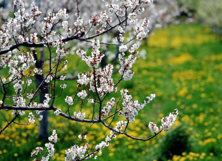 Причины отсутствия плодов у вишни при обильном цветении, что делать для получения урожая