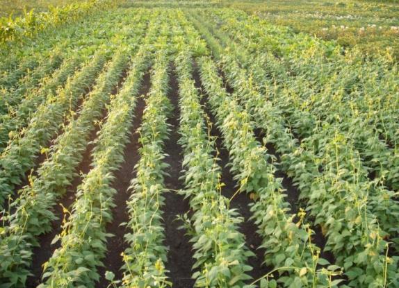 Фото по выращивания фасоли